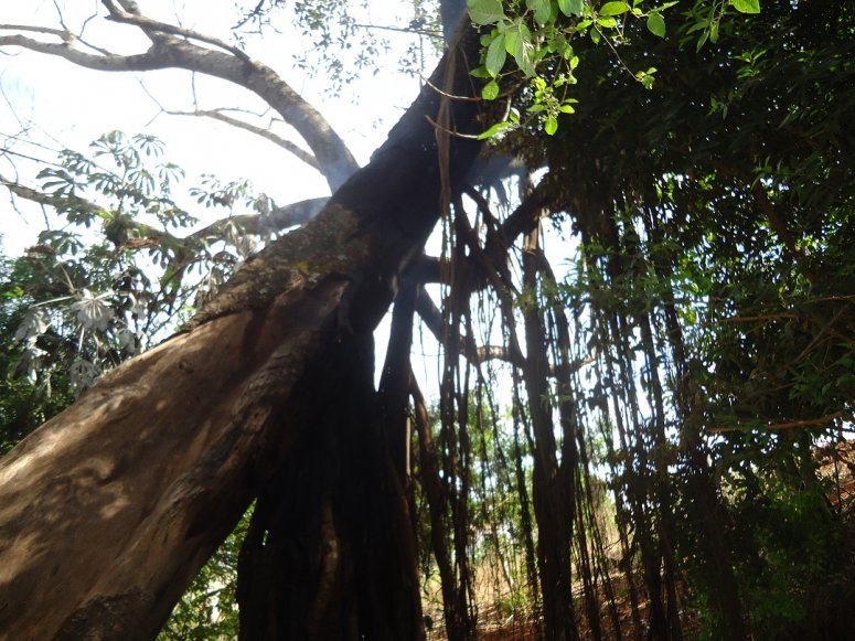Árvore centenária em área de APP é alvo de incêndio em Patos de Minas