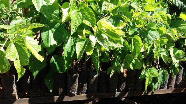 Secretaria de Agricultura lança campanha para Doação de Sementes de Árvores Frutíferas